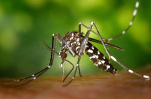 Aedes albopictus. Foto: James Gathany (licencvia CC)