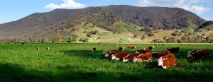Cows_in_green_field_-_nullamunjie_olive_grove03