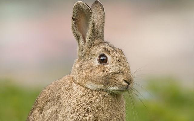 Tratamiento homeopático con Cina 30 Ch de las parasitosis en conejos