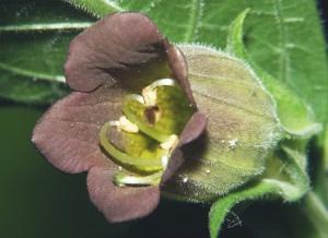 Atropa belladonna: Foto: BerndH (licencia CC)