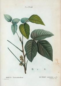 Toxicodendron pubescens. Ilustración de Pierre-Joseph Redouté