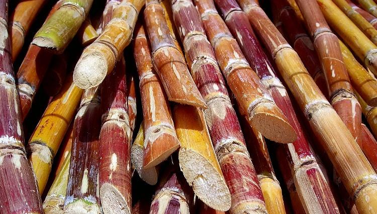 Canya-azucar-Rufino-Uribe
